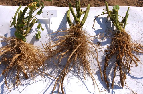 Photo of tomato roots from the anaerobic soil disinfestation project