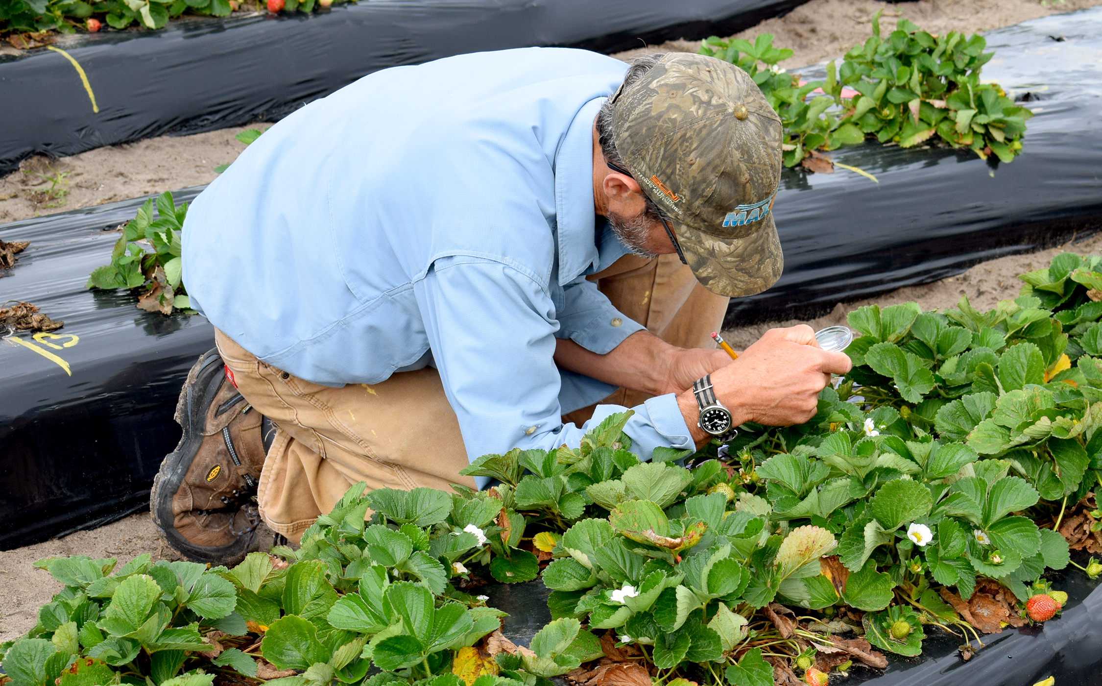 researcher in field examining strawberry plants