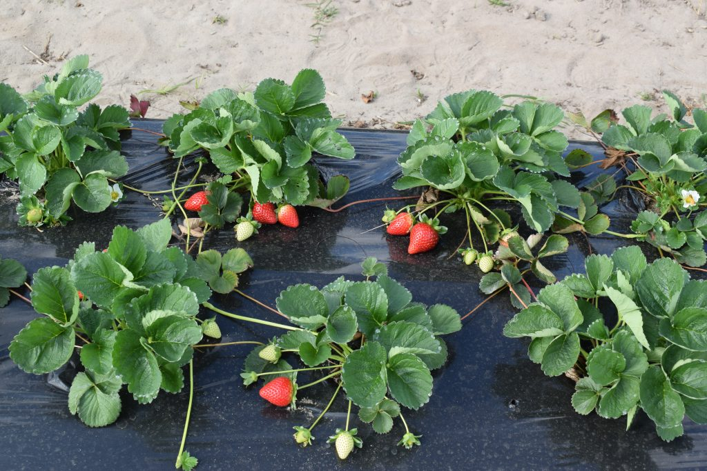 Strawberry cultivar trial at the UF/IFAS Plant Science Research and Education Unit in Citra, FL