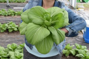Photo of pak choi grown organically in a high tunnel in 2018