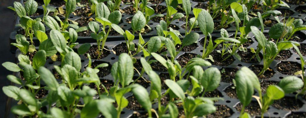 Photo of Yukina Savoy Seedlings from November 24, 2019