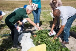 Research team assessing strawberries at a pre-COVID research assessment in 2020