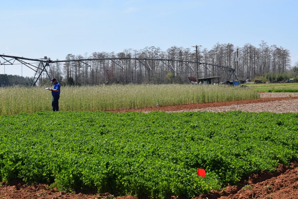 Crimson clover and cereal rye grown at the West Florida Research and Education Center in Jay, FL (PC: K. Sattanno)